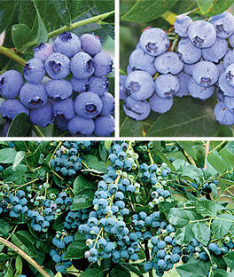 Blueberry, 90 days Northern Collection., , large